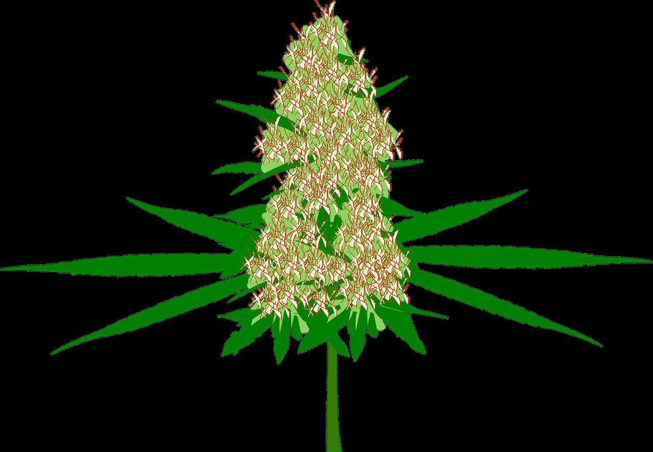 la fleur de CBD : pour des infusions