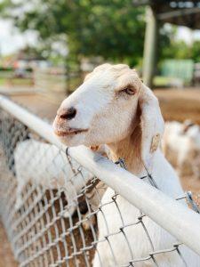 seringue hypodermique pour chèvre